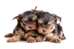 Yorkshire Terrier puppies royalty free stock photo