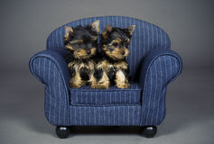 Yorkshire terrier puppies. Three months old Yorkshire terrier puppies on a miniature couch Stock Images