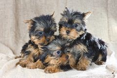 Yorkshire Terrier puppies Royalty Free Stock Image
