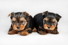 Yorkshire terrier puppies Stock Photography