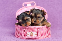 Yorkshire terrier puppies. Two cute yorkshire terrier puppies in a pink basket, on purple background Royalty Free Stock Image