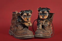 Yorkshire terrier puppies. Two Yorkshire terrier puppies in workboots, on red background Stock Photography