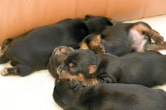 Yorkshire Terrier puppies. A litter of black Yorkshire Terrier puppies sleep together, huddling close Stock Photography