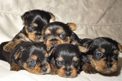 Yorkshire Terrier puppies. A litter of black Yorkshire Terrier puppies Royalty Free Stock Photography