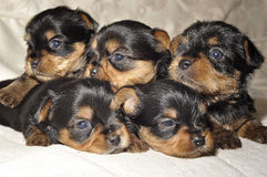 Yorkshire Terrier puppies. Back to back to each other Stock Photo