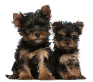 Yorkshire Terrier puppies, 8 weeks old Royalty Free Stock Photography