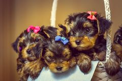 Yorkshire terrier puppies in a basket Royalty Free Stock Photo