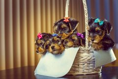 Yorkshire terrier puppies in a basket Stock Images