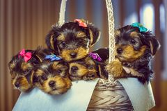 Yorkshire terrier puppies in a basket Stock Photos