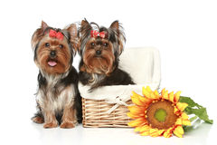 Yorkshire Terrier Puppies with basket on a white Stock Photography