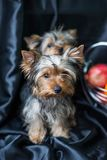 Yorkshire Terrier puppies on a dark background. Beautiful puppies looking at the camera. Cute home dog for love royalty free stock images