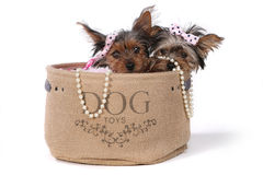 Yorkshire Terrier Puppies Dressed up in Pink Royalty Free Stock Images