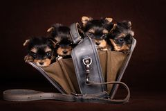Four Yorkshire Terrier puppies with a bag. stock image