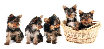 Yorkshire Terrier puppies in a row stock photo