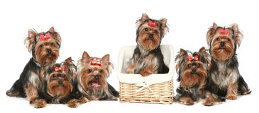 Yorkshire Terrier puppies on a white background Stock Photography