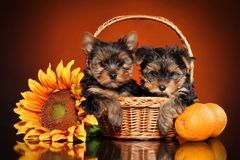 Yorkshire Terrier puppies stock photos