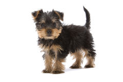 Yorkshire Terrier puppy Royalty Free Stock Image
