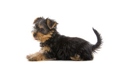 Yorkshire Terrier puppy. Side view of Yorkshire Terrier puppy isolated on white background Royalty Free Stock Photos