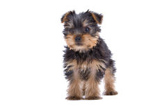Yorkshire Terrier puppy Stock Photos