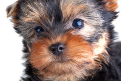 Yorkshire Terrier puppy stock photography