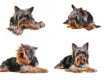 Yorkshire terrier puppy. Isolated on white with toy Stock Photos