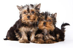 Yorkshire terrier puppy Stock Photo