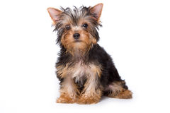 Yorkshire terrier puppy Stock Images
