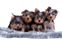 Yorkshire terrier puppy Royalty Free Stock Photos