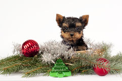 Yorkshire terrier puppy. Stock Images