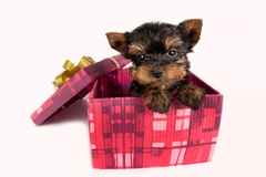 Yorkshire terrier puppy. Royalty Free Stock Photos
