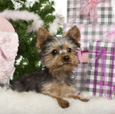 Yorkshire Terrier puppy, 3 months old, lying. With Christmas gifts in front of white background Royalty Free Stock Images