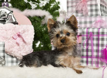Yorkshire Terrier puppy, 3 months old, lying. With Christmas gifts in front of white background Royalty Free Stock Photography