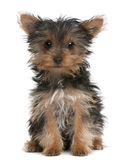 Yorkshire Terrier puppy, 3 months old, sitting Royalty Free Stock Photo