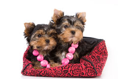 Yorkshire Terrier puppy. Sitting on a white background stock photography