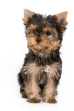 Yorkshire Terrier puppy. (Yorkie) on white background royalty free stock images