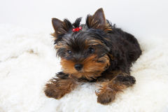 Yorkshire terrier puppy. On the white stock photos