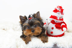 Yorkshire terrier puppy. With a snowman stock images