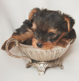 Yorkshire terrier Puppy. Pocket size laying in silver pot Royalty Free Stock Photos