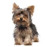 Yorkshire Terrier puppy (5 months old) Royalty Free Stock Photo