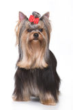 Yorkshire terrier puppy Stock Image