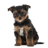 Yorkshire Terrier puppy, 7 weeks old, sitting Stock Images
