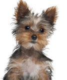 Yorkshire Terrier puppy, 8 weeks old. In front of white background Royalty Free Stock Images