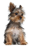 Yorkshire Terrier puppy, 8 weeks old, sitting Stock Image