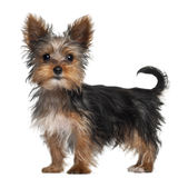 Yorkshire Terrier puppy, 8 weeks old, standing. In front of white background Stock Photography
