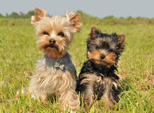 Yorkshire terrier and puppy Royalty Free Stock Images