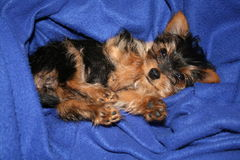 Yorkshire terrier puppy Royalty Free Stock Images