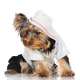 Yorkshire terrier puppy Royalty Free Stock Photography