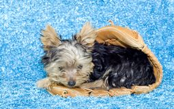 Yorkshire Terrier Puppy in a Baseball Glove Stock Image