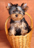 Yorkshire Terrier puppy in a basket Royalty Free Stock Image