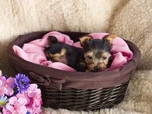 Yorkshire Terrier Puppy in Basket Royalty Free Stock Images